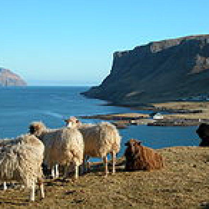 Vilna iš Farerų salų