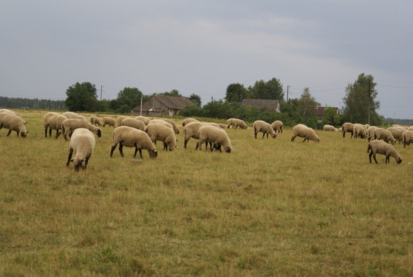 Visiting a Sheep Farm DSC03396